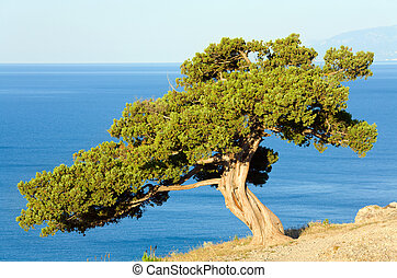 "juniper tree on rock (""Novyj Svit\"" reserve, Crimea,..."