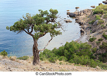 juniper tree on rock on sea background