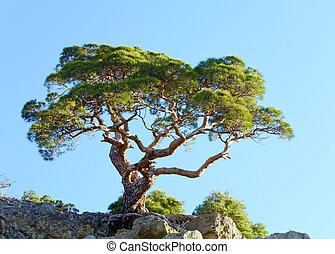 "juniper tree on rock on sky background (""Novyj Svit\""..."