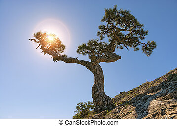 Juniper tree on top of a mountain. Sun rays