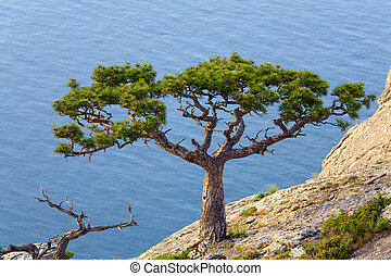 "juniper tree on rock on sea surface background (""Novyj..."