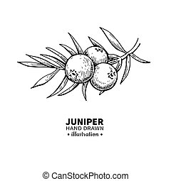 Juniper vector drawing. Isolated vintage illustration of berry on branch. Organic essential oil engraved style sketch.