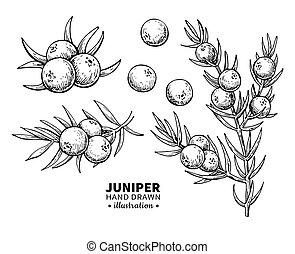 Juniper vector drawing. Isolated vintage illustration of ...