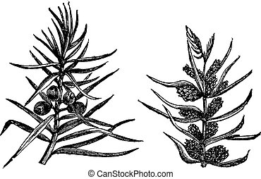 Juniper, vintage engraving. Old engraved illustration of Juniper, branches bearing fruits and flowers isolated on a white background.