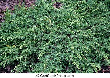 Juniperus communis 'Green carpet' in the botanical gardens
