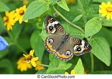 Buckeye - Junonia coenia aka Common Buckeye or Buckeye...