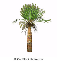 Jurassic Cycad Plant - Cycads vary in size from having...