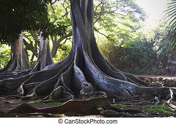Dramatic Moreton-Bay Fig Tree