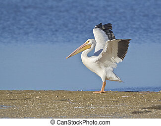 Just arrived - white pelican flopping tired wings