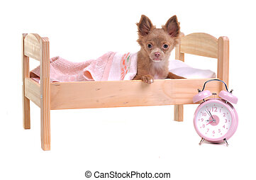 Just awaken chihuahua puppy lying in a bed with alarm-clock standing near it isolated