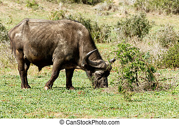 Just Chilling - African Buffalo Syncerus caffer
