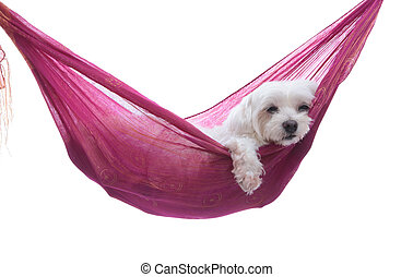 Just hanging around - puppy hammock - A maltese puppy dog...