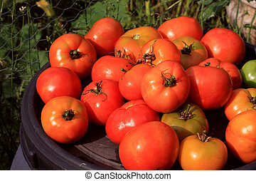 Just Picked - Tomatoes that have just been picked from the...