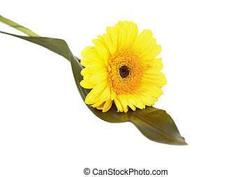 just single pretty flower - yellow gerbera on the white