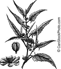 Jute or Corchorus capsularis or Corchorus olitorius, vintage engraving. Old engraved illustration of a Jute showing flowers.