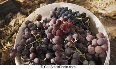 juteux, high-quality, raisins, seau, mûre, farm., organique