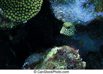 Juvenil smooth trunkfish close up - Lactophrys triqueter ...