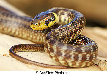 juvenile aesculapian snake on tree stump