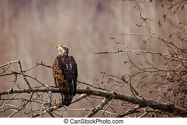 Juvenile bald eagle in fall