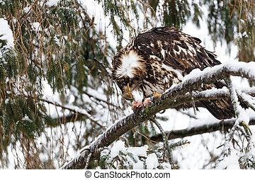 Juvenile Bald Eagle - juvenile bald eagle at Vancouver BC...
