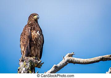 Juvenile bald eagle on a branch