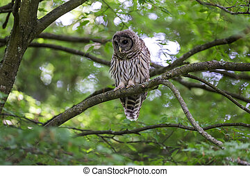Juvenile barred owl - juvenile barred owl at Vancouver BC...