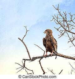 Juvenile Bateleur eagle perched on a dead tree