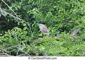 Juvenile black-crowned night heron - A young black-crowned...