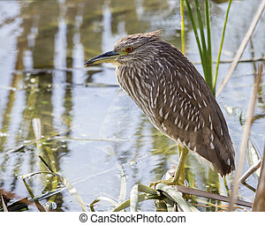 Juvenile Black-crowned Night Heron - Florida