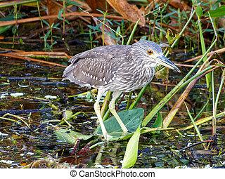Juvenile Black-crowned Night-heron in Florida Wetlands