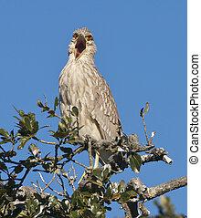 Juvenile Black-crowned Night Heron, Nycticorax nycticorax
