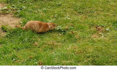 Juvenile black-tailed prairie dog eating grass