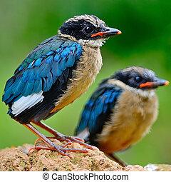 juvenile Blue-winged Pitta