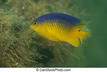 Juvenile Cocoa Damselfish keeping guard over its territory
