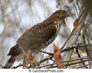 Juvenile Cooper's Hawk - Accipiter cooperii