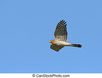 Cooper\\\'s Hawk - Juvenile Cooper\\\'s Hawk in flight