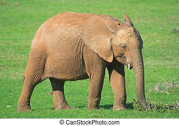 Juvenile Elephant - Juvenile African Elephant