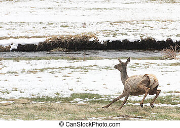 Juvenile elk running through snow