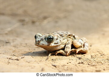 juvenile european green toad