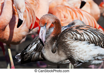 A juvenile flamingo (pink and grey feathers)