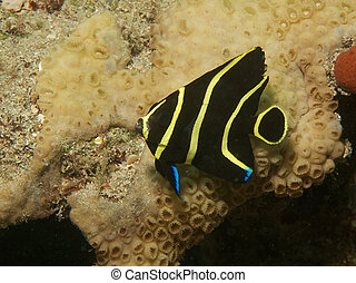 Juvenile French Angelfish, picture taken in south easat ...