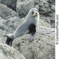 Juvenile Fur Seal - Juvenile fur seal on the lookout at the...