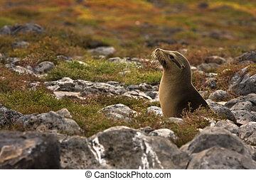 Juvenile Galapagos sea lion (Zalophus wollebaeki) - Joung...