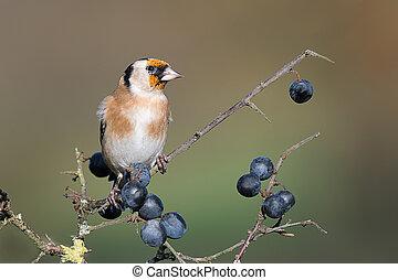 Juvenile goldfinch on blackthorn