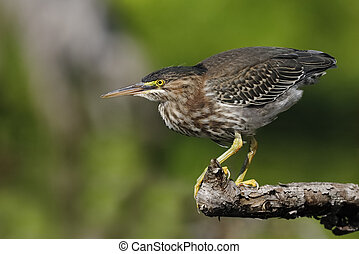 Juvenile Green Heron stalking its prey from a branch overhanging the water