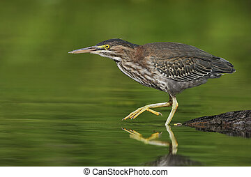 Juvenile Green Heron stalking its prey in a shallow river