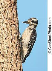 Juvenile Hairy Woodpecker (Picoides villosus)
