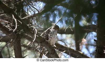 a young hawk in a pine tree calls to its parent
