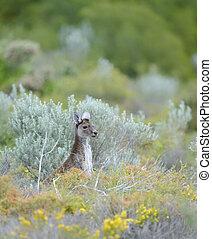Juvenile Kangaroo near Cervantes, Western Australia