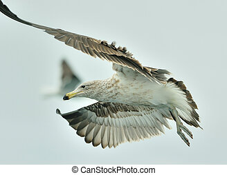 Juvenile Kelp gull (Larus dominicanus), also known as the...